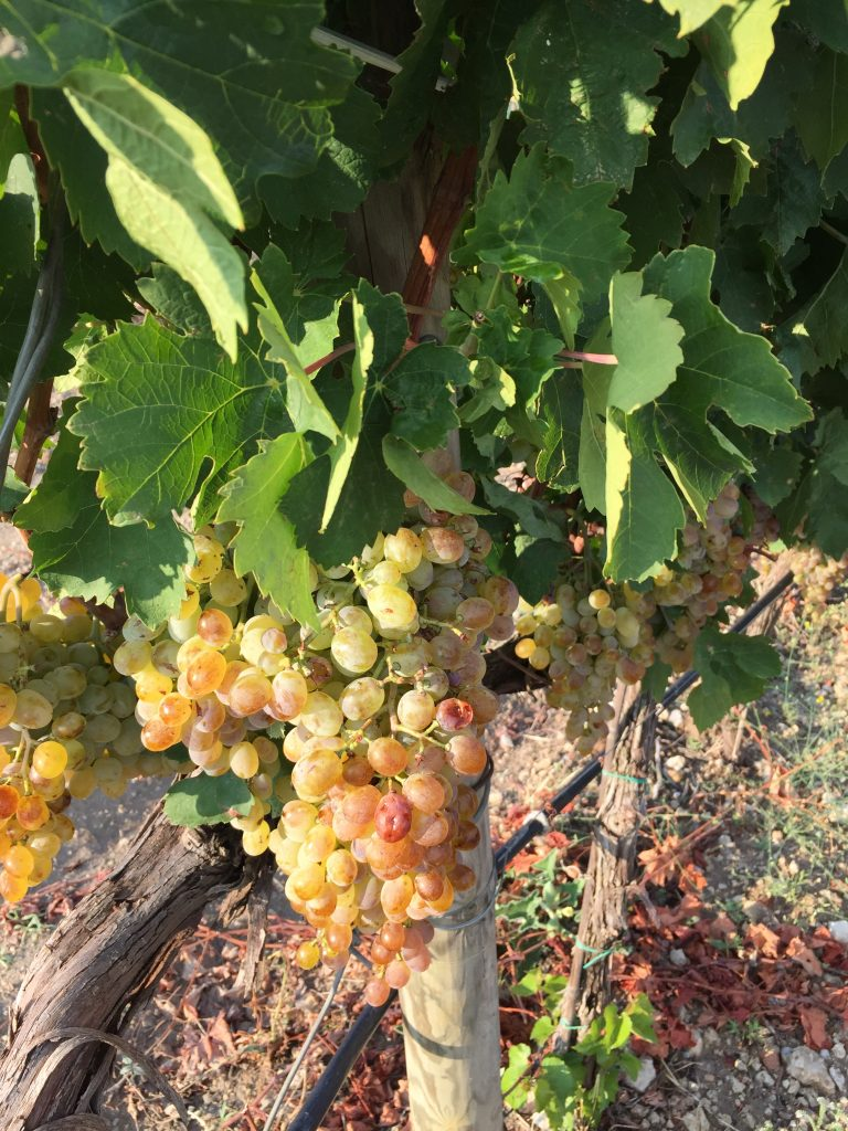 Wines of Sicily - Grapes
